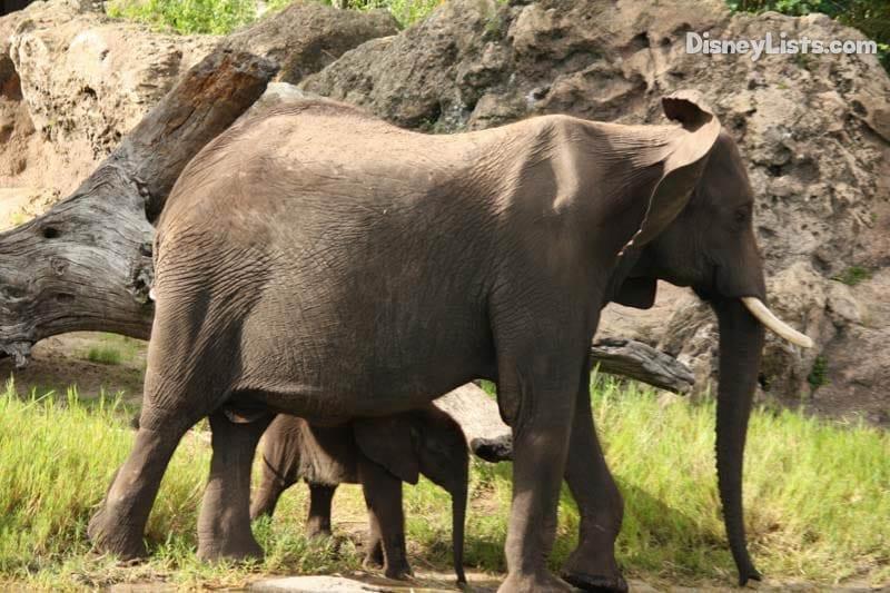 Mom and Baby Elephant at Animal Kingdom