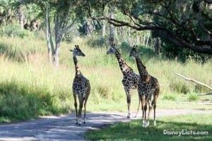 Giraffes at Animal Kingdom