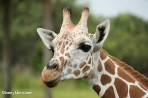 Giraffe Close Up on Animal Kingdom Safari