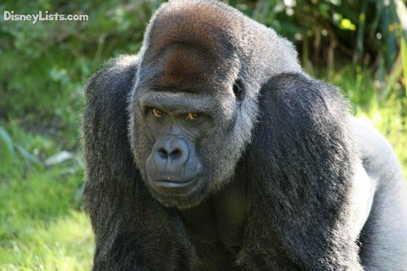 AK Gorilla-1