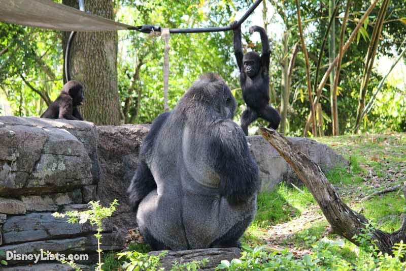Gorilla Babies Play