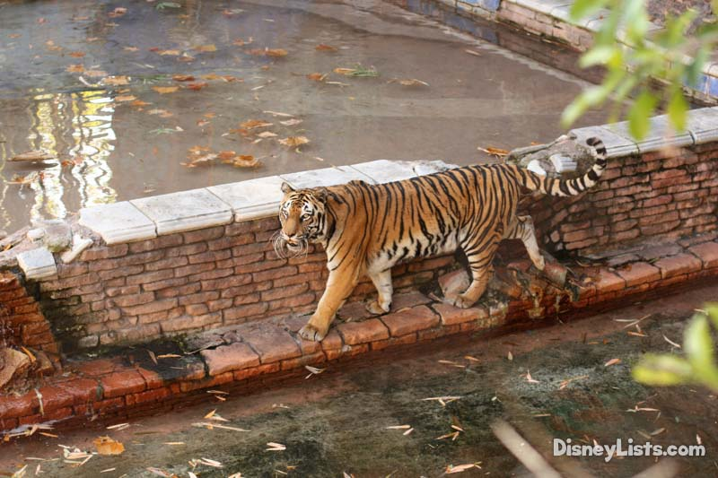 Tiger at M Trek